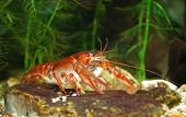 pic of claw  - Narrow clawed crayfish Astacus leptodactylus in nature - JPG