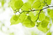 image of linden-tree  - Fresh green linden leaves outdoors, macro photography
