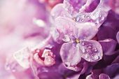 picture of lilac bush  - Macro photography of beautiful lilac flowers - JPG