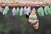 stock photo of cocoon  - Rows of butterfly cocoons and newly hatched butterfly.