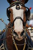 stock photo of clydesdale  - A picture of a clydesdale horse at an air show - JPG