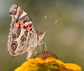 stock photo of black-eyed susans  - American Painted Lady butterfly feeding on a Black - JPG