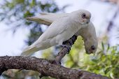 stock photo of bribie  - photo of Cockatoo - JPG