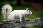 foto of albinos  - Rare white squirrel on a wooden fence in the city park in Olney Illinois one of the few places were a large number of them exist. The squirrels are not albino but have white fur from leucism.