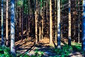 stock photo of nano  - Trees in the forest of Nanos mountain Slovenia - JPG