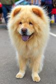 stock photo of chow-chow  - Cream dog Chow - JPG