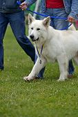 picture of swiss shepherd dog  - Swiss Shepherd dog at a dog show in the spring - JPG