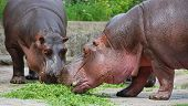 stock photo of sub-saharan  - The hippopotamus  - JPG
