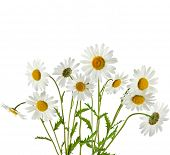 picture of chamomile  - Bouquet of chamomile flower isolated on white  background - JPG