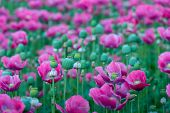 stock photo of opium  - Pink flowering Opium Poppy or Papaver somniferum plants and their seed boxes. ** Note: Shallow depth of field - JPG