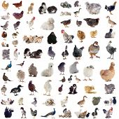 picture of poultry  - group of poultry in front of white background - JPG