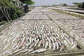 picture of squid  - Squid lay on net Dried Squid traditional squids drying in the sun in a idyllic fishermen villageThailand.