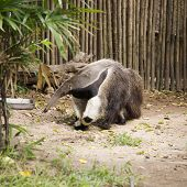pic of ant-eater  - giant ant eater walking and looking something - JPG
