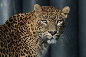picture of leopard  - Sri Lankan leopard  - JPG