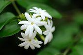 pic of jasmine  - Group of white Sampaguita Jasmine or Arabian Jasmine  - JPG