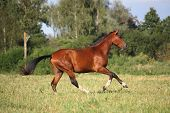 stock photo of running horse  - Beautiful bay horse running free at the field - JPG