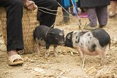 stock photo of hmong  - Pigs for sale at a Hmong market in Asia - JPG