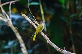 picture of bulbul  - Bird watching in forest Mountain Bulbul Ixos mcclellandii  in nature  - JPG
