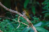 picture of bulbul  - Bird watching in forest Mountain Bulbul  - JPG