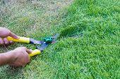 stock photo of grass-cutter  - Scissors cut grass put in garden during cut - JPG