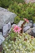 stock photo of rich soil  - Succulents bright rejuvenated blooming in the garden - JPG