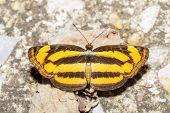 stock photo of suck  - The common lascar butterfly is sucking food from ground - JPG