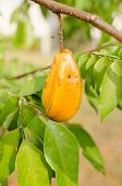 image of iron star  - fresh yellow star apple fruit in thailand - JPG