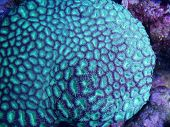 foto of lps  - close up of green favia coral - JPG