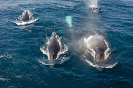 picture of whale-tail  - Tail of a whale diving at the ocean - JPG