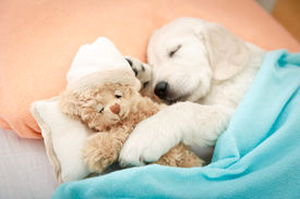 foto of toy dog  - labrador retriever puppy sleeping with toy on the bed - JPG