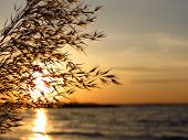 stock photo of bulrushes  - The bulrushe against sunlight over sky background in sunset - JPG