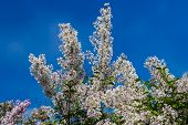 pic of lilac bush  - Lilac bush with pale pink flowers against the blue sky - JPG