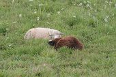 picture of tall grass  - White fleeced and brown fleeced sheep laying in the tall grass - JPG