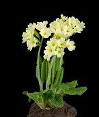 foto of plant species  - Oxlip - JPG