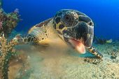stock photo of hawksbill turtle  - Hawksbill Sea Turtle underwater on ocean coral reef - JPG