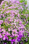 picture of angiosperms  - Nice pink Gypsophila under a morning spring sun - JPG