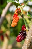 picture of mulberry  - Fresh ripe mulberry berries on the tree - JPG