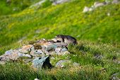 image of marmot  - marmot on a mound of stones with green meadows around - JPG