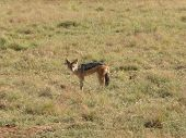 picture of jackal  - a jackal on grassy ground in Southafrica - JPG
