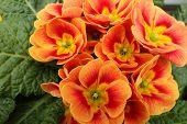 picture of primrose  - Primroses in a vase in a public garden of a big city - JPG