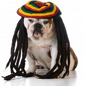 image of dreadlocks  - funny dog with dreadlock wig on white background - JPG