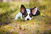 pic of corgi  - beautiful tricolor welsh corgi cardigan dog in the forest - JPG