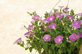 picture of petunia  - Closeup of pink petunia flower - JPG