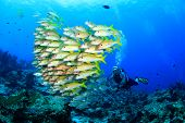 stock photo of school fish  - Scuba diver and school of fish  - JPG