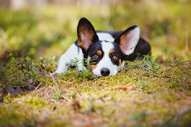 picture of corgi  - beautiful tricolor welsh corgi cardigan dog in the forest - JPG