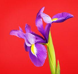 picture of purple iris  - beautiful purple flower iris - JPG