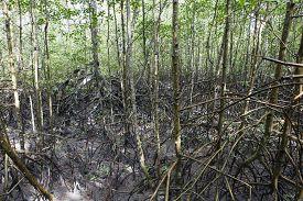 stock photo of ecosystem  - view of mangue - JPG