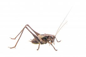 picture of cricket shots  - Nice cricket isolated on a white background