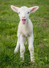 stock photo of suffolk sheep  - a white suffolk lamb a few days old standing on the grass bleating