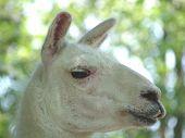 stock photo of buck teeth  - Llama